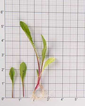 red-dandelion-size-grid