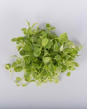 microgreen-mache-isolated