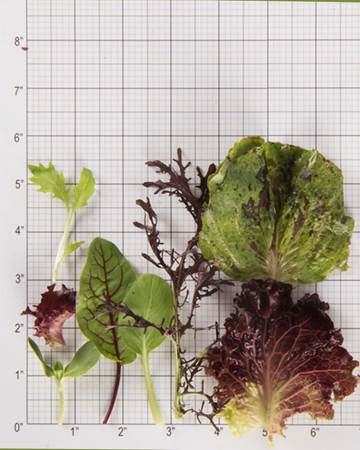 Mesclun-Baby-Size-Grid