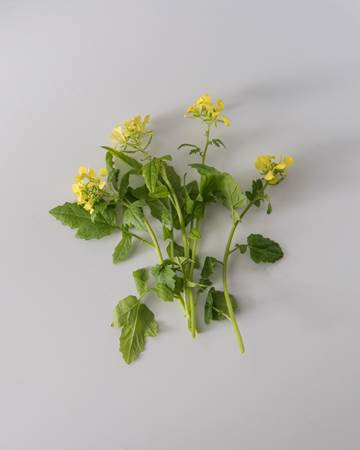 Mustard Cress Bloom