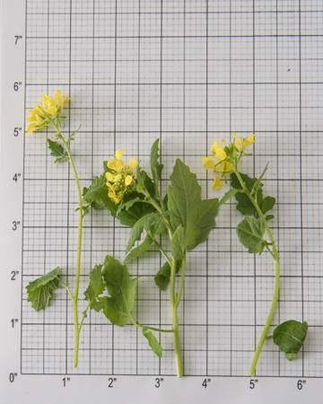 Mustard Cress Bloom Size Grid