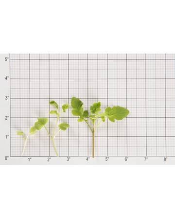 Mustard-Cress-Microgreen-NG-Petite-Size-Grid