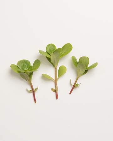Purslane-Rosettes-Isolated