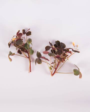 Sorrel-Petite-Plum Lucky with Blooms-Isolated