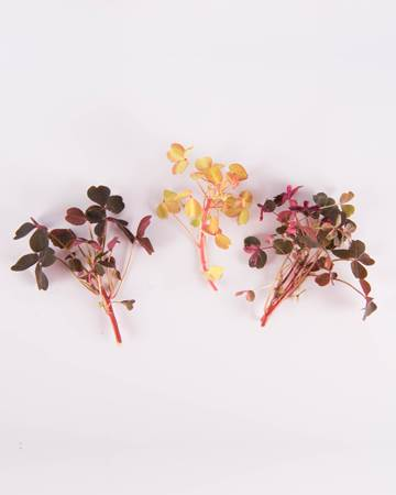 Sorrel-Petite-Mixed-Lucky-Isolated