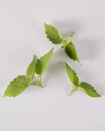Anise Hyssop-Demi-Isolated