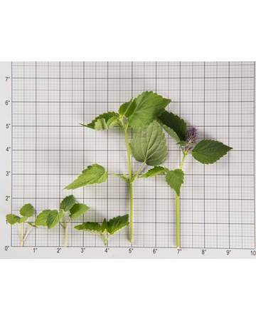 Anise Hyssop-Size Grid