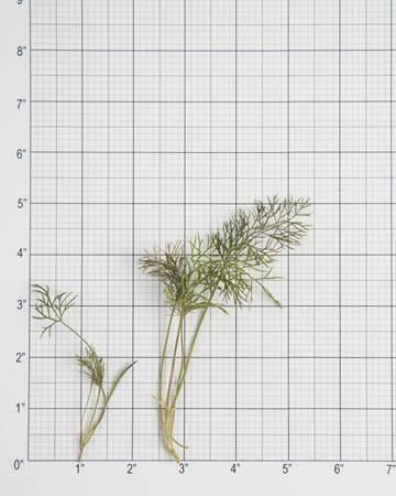 bronze-fennel-size-grid