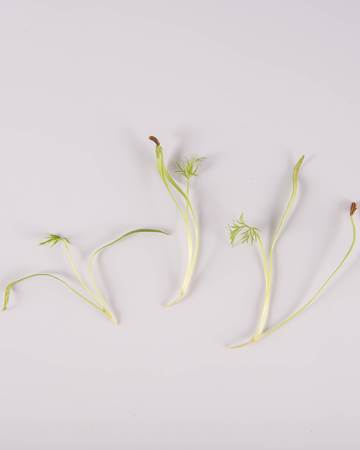 Fennel-GH-Petite-Isolated
