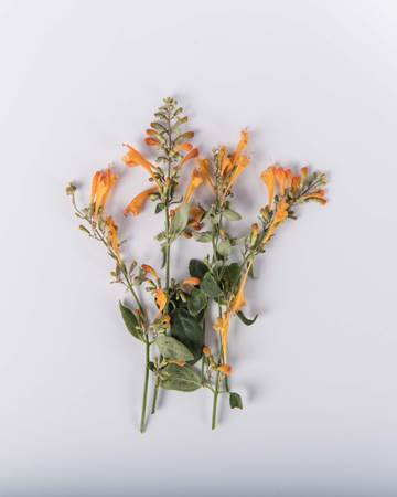 Orange Hyssop Blossoms