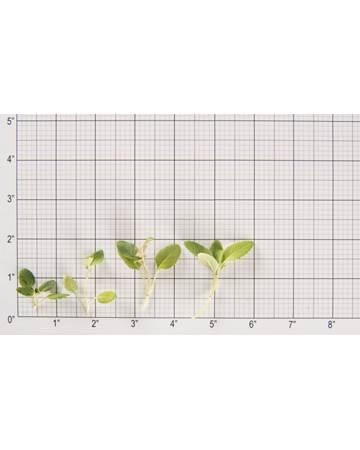 Lemon Bergamot Size Grid