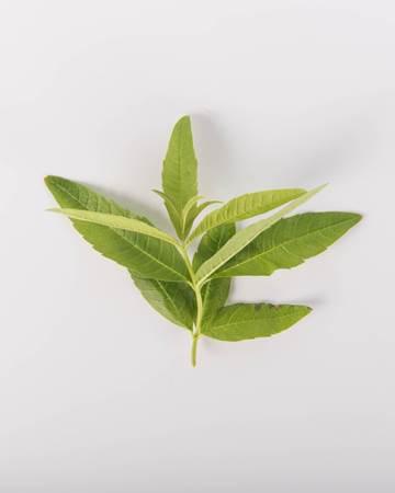 Herbs-Lemon-Verbena-Isolated