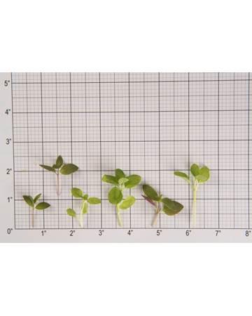 Mint-Microgreen-Mint Sampler-Size Grid