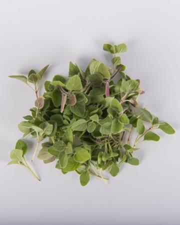 microgreen-greek-oregano-isolated