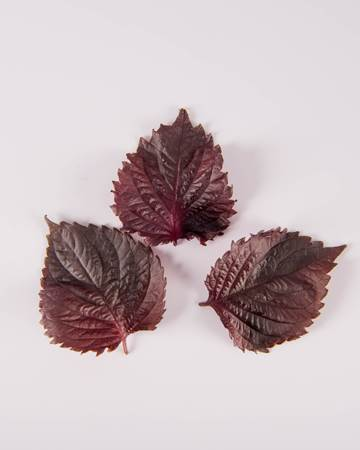 Shiso-Red-Leaves-Isolated
