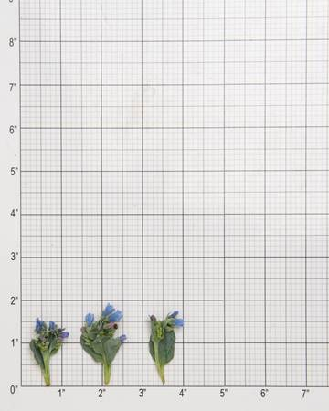 Leaves-Oyster-with-Bloom-Size-Grid