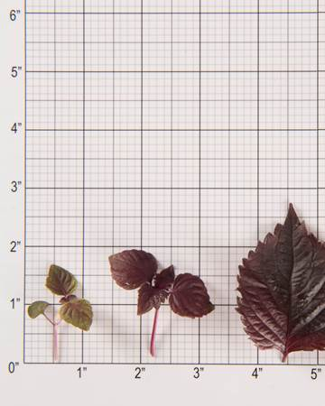Shiso-Red-Size-Grid