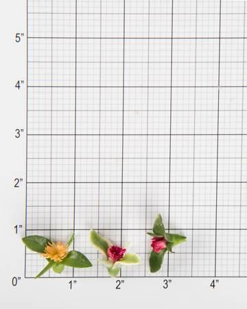 Lettuce-Crystal-Lettuce-Blooms-Size-Grid