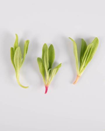 Lettuce-Petite-Ruby-Isolated