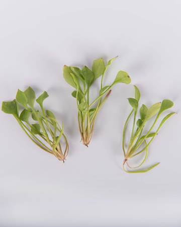 petite-miners-lettuce-isolated