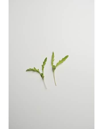Micro-Chrysanthemum-Isolated