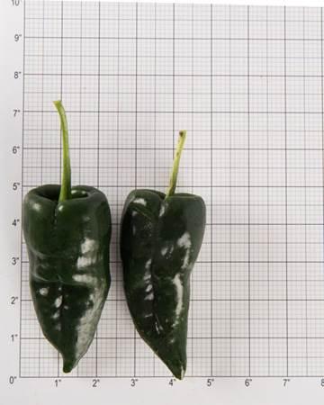 Poblano Pepper Size Grid
