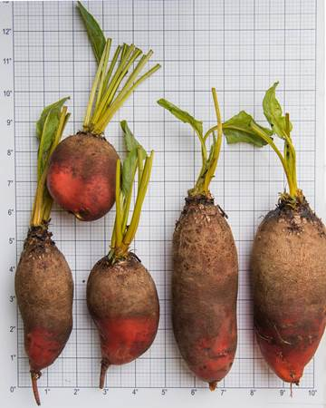 Badger Flame Beet Size Grid