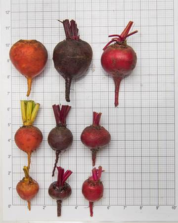 Beets-Size-Grid-1-of-1