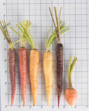 Carrot-Baby-Size Grid