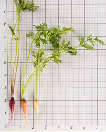 Root-Carrots-Petite-Size-Grid