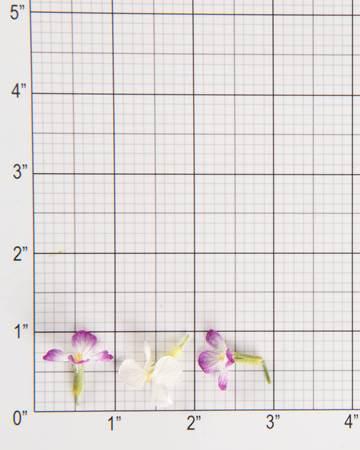 Edible Flower-Rat Tail Radish-Size Grid