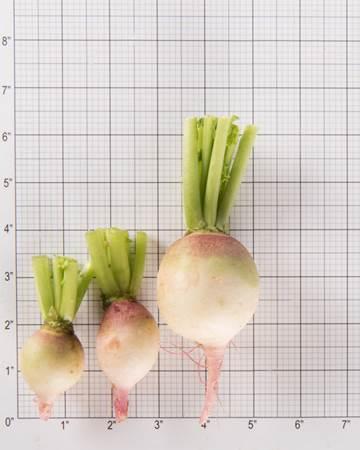 Radish-Watermelon-Size-Grid