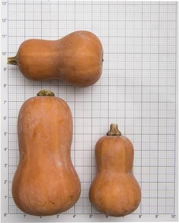 Honeynut Fall Squash Size Grid