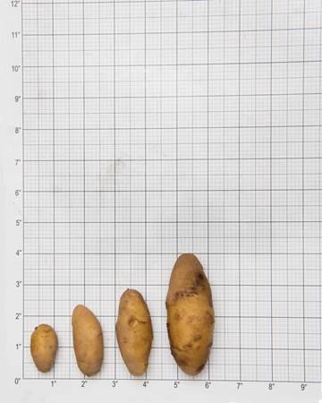 Potato-Austrailian-Cresent-Size-Grid-1-of-1