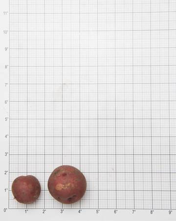 Potato-Red-Norland-Grid-1-of-1