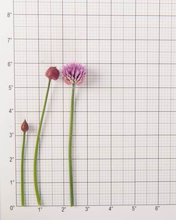Chive Blooms and Buds Size Grid
