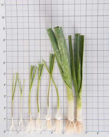 Allium-Leek-Traditioinal-Size Grid