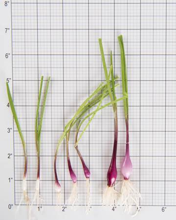 Allium-Onion-Purplette-Size-Grid