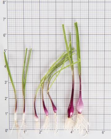 Allium-Onion-Purplette-Size-Grid