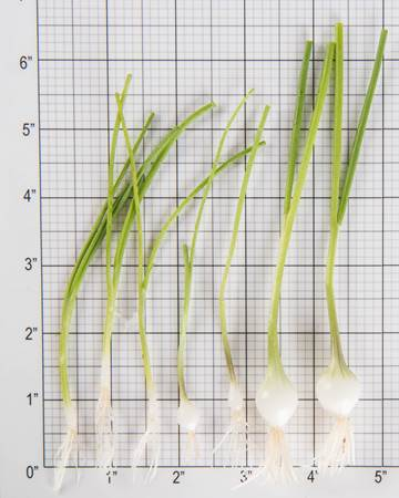 Allium-White-Coin-Size-Grid
