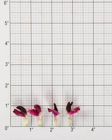 Edible-Flowers-Fava-Red-Size-Grid