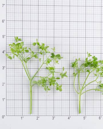 Pea-Calvin Pea Tendril-Size Grid