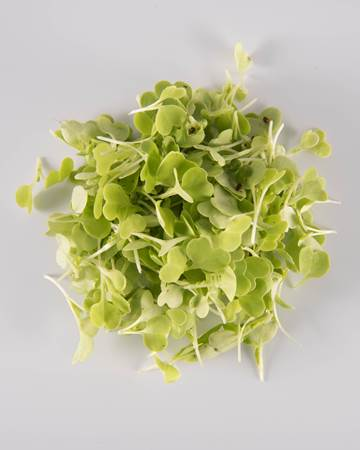 Cabbage-Chinese-Microgreen-Isolated