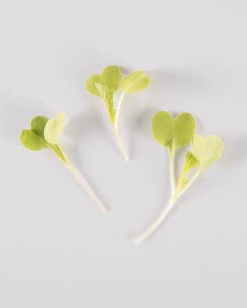 Cabbage-Chinese-Microgreen-Petite-Isolated