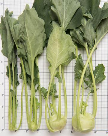Cruciferous-Kohlrabi-All-sizes-3