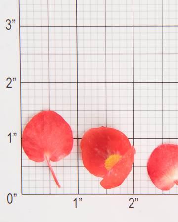 Citrus Begonia Size Grid