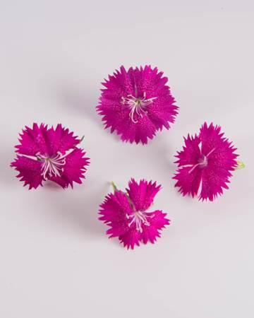 Edible Flower-Chelsea Dianthus-Isolated
