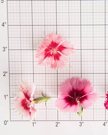Edible Flower-Frilled Dianthus-Size Grid