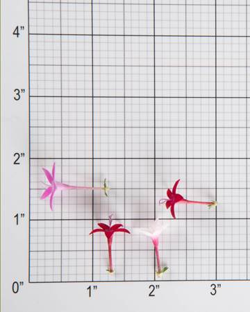 egyptian-star-flower-isolated-size-grid