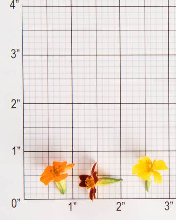 Edible Flowers-Mixed Citrus Marigolds-Size Grid